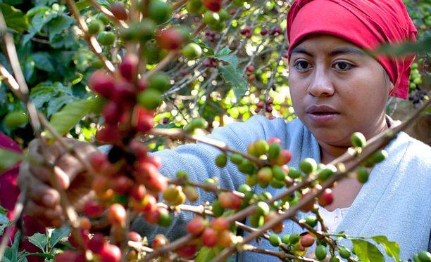 Nainen poimi kahvisatoa Guatemalassa, missä ruostesieni uhkaa monien kylien ainoaa elinkeinoa.