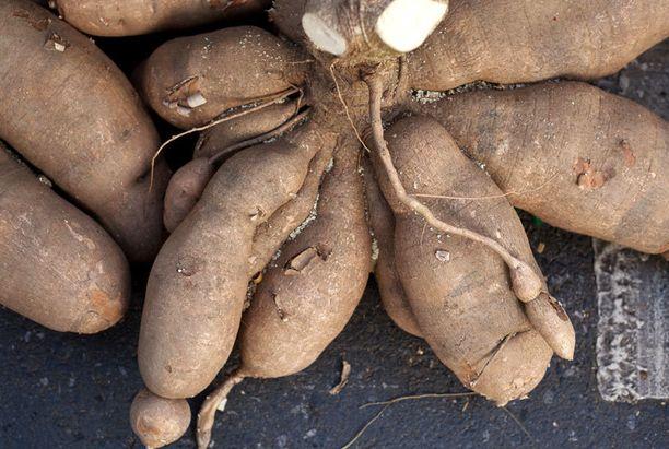 Maniokkia eli cassavaa käytetään paljon kehitysmaissa.