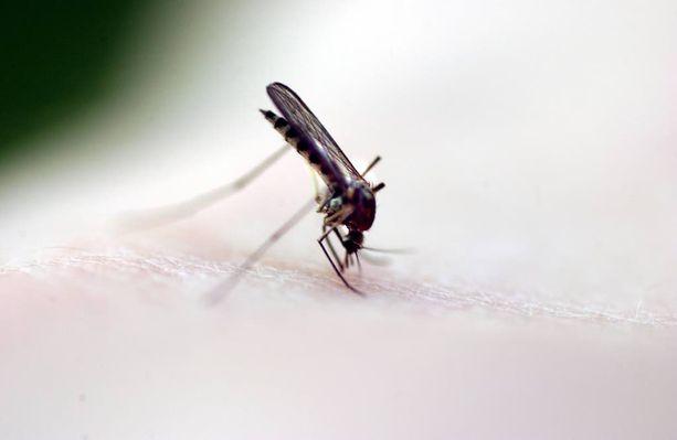 Hyttysten levittämän Zika-viruksen pelätään aiheuttavan kohdussa tulehdusta, joka voi aiheuttaa keskenmenon.