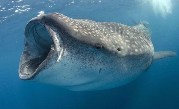 Valashait syövät pääasiassa planktonia.