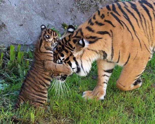 Sumatrantiikeri Leannen kahdeksan viikon ikäinen pentu painii emonsa kanssa San Franciscon eläintarhassa Yhdysvaltain Kaliforniassa.