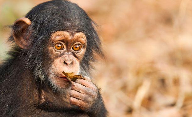Orvot simpanssit tarvitsevat tukea ja turvaa.