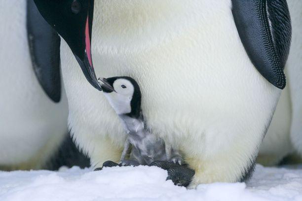 Pieni pingviini sai rakastavat vanhemmat.