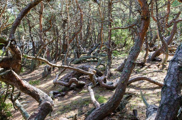 Mereltä puhaltava tuuli on muovannut Trollskogenin puut muotoon, joka voisi olla painajaisunesta peräisin.