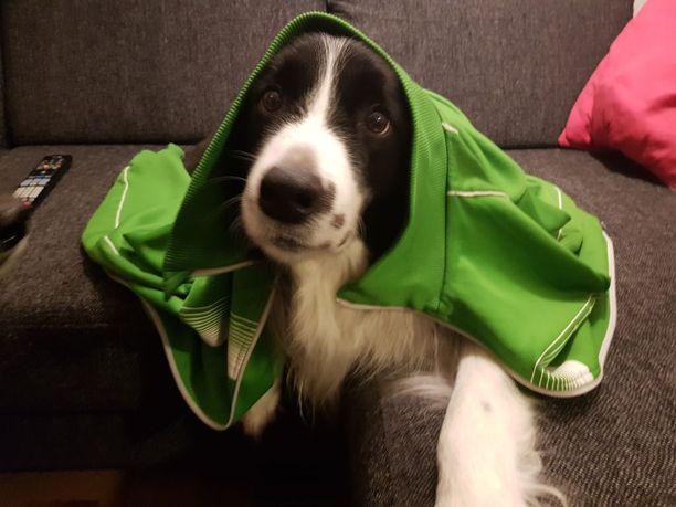 Bordercolliet ovat erittäin älykkäitä koiria.
