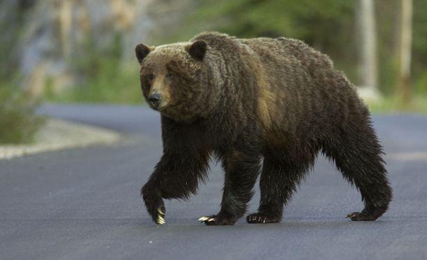 Pohjois-Carolinassa karhut eivät ole harvinaisia myöskään ihmisasutusten lähettyvillä. Arkistokuva.