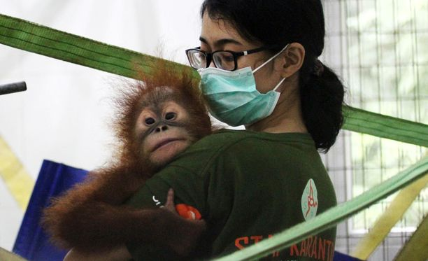 Kuvassa alkuvuonna Indonesiassa pelastettu oranki.