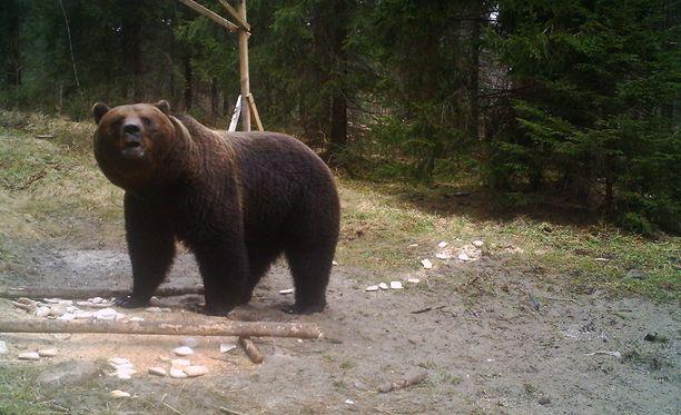 Itä-Suomessa elää arviolta 485-550 karhua. Kuvituskuva.
