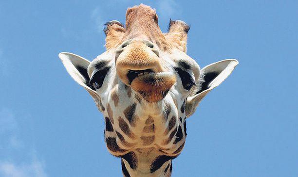 Kyllä kelpaa... ...kirahvin katsoa kaksijalkaisia alentuvasti Kreikassa Attikan eläintarhassa.