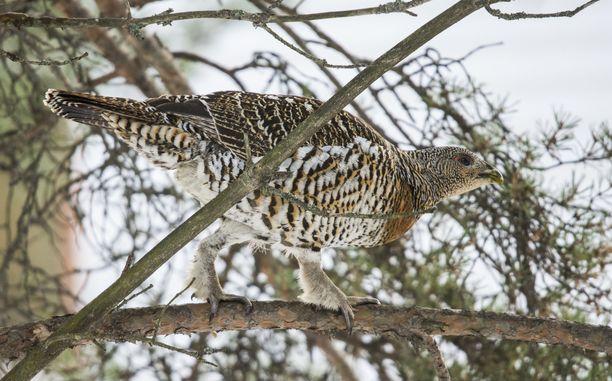 Naarasmetso on hemaisevan kaunis lintu.