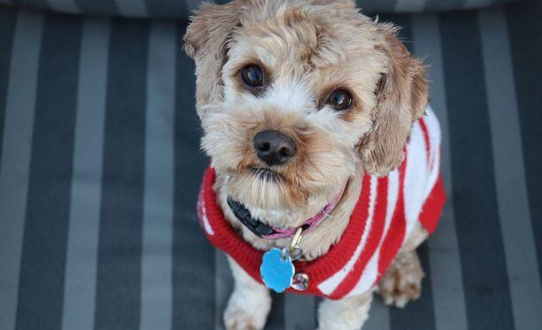 Viimeisetkin kunnat luopuivat koiraveron perimisestä viime vuonna. Nyt koiraverolaki päätettiin kumota kokonaan.