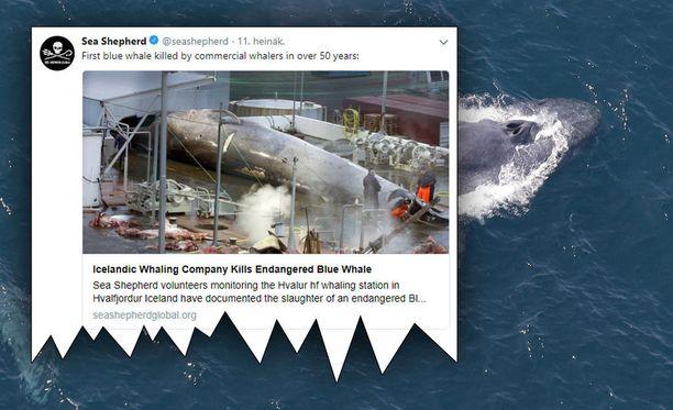 Aktivistijärjestö Sea Shepherdin ja islantilaisen valaanpyyntiaseman välille on syntynyt valtava riita siitä, ovatko valaanpyytäjät tappaneet sinivalaan.