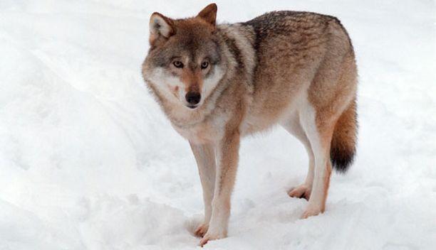 Sudet saattavat käyttäytyä uhkaavasti koiria kohtaan.