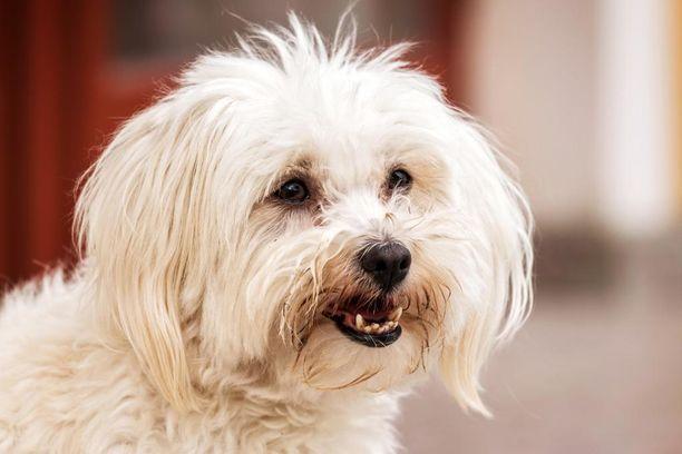 Ainakin osa naisen koirista oli rodultaan maltankoiria. Maltankoira on kolme-nelikiloisena varsinainen kääpiökoira. Kuvan terve yksilö ei liity tapaukseen.