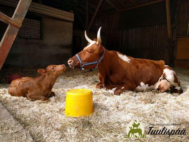Lopetustuomion saaneet lehmä ja vasikka saavat viettää loppuelämänsä Tuulispään eläinsuojelukeskuksessa.