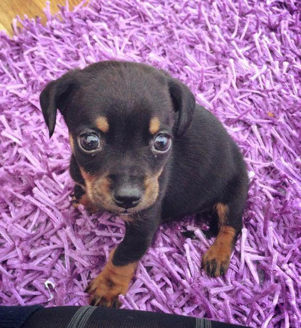 Muru on yksi naisen uhreista. Pienen koiran elämä päättyi maaliskuussa 2013, pian myymisen jälkeen. Muru osoittautui niin sairaaksi, että se piti lopettaa.