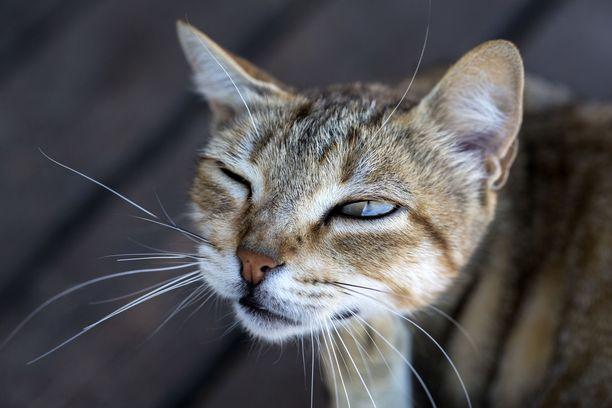 Kissa sairasti taudin lievänä. Arkistokuva.