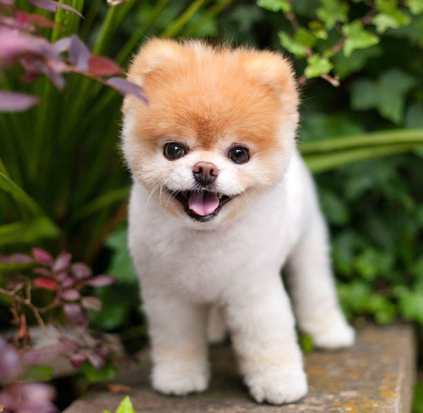 Boo oli monen mielestä maailman suloisin koira. Rodultaan se on pomeranian eli kääpiöpystykorva.