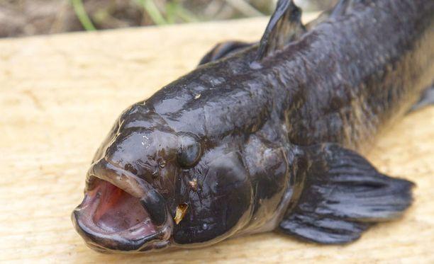 Alun perin mustatäplätokko on elänyt Kaspianmerellä ja Mustaltamerellä. Siellä se on myös arvostettu ruokakala.