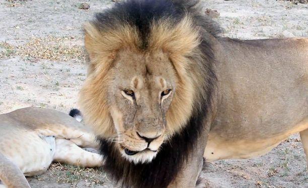 Metsästyskielto asetettiin alun perin Cecil-leijonan tappamisen jälkeen.