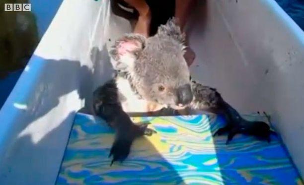 Reipas koala halusi melojien kyytiin.