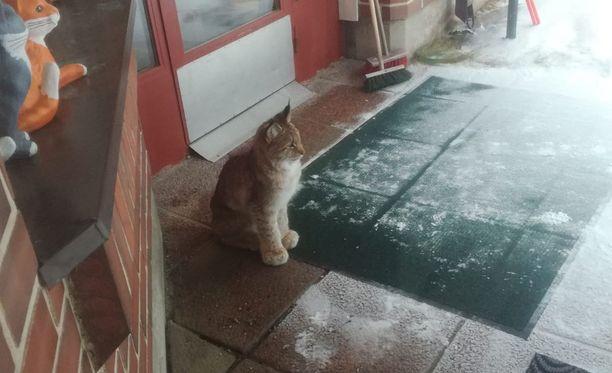 Ilves yritti kovasti pyrkiä sisälle.