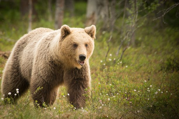Karhu jäi junaraidekoneen alle Nurmeksessa. Kuvituskuva.