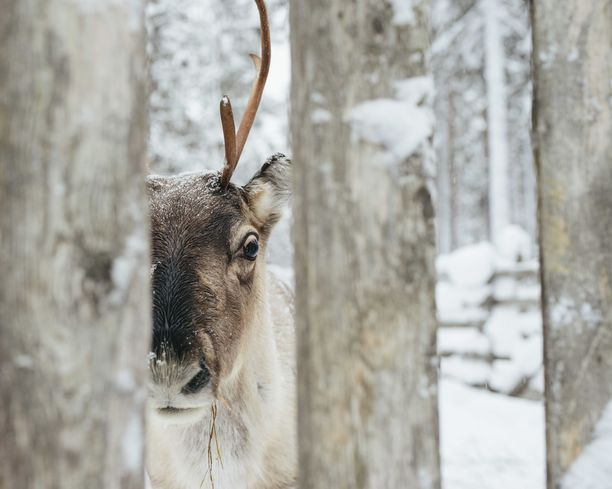 Rovaniemellä joulupukin pajakylässä asiakkaat pääsevät tervehtimään poroja. Kuvituskuva.