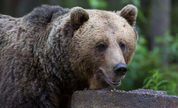 Loukkaantunutta karhua jäljestetään parhaillaan. Arkistokuva.