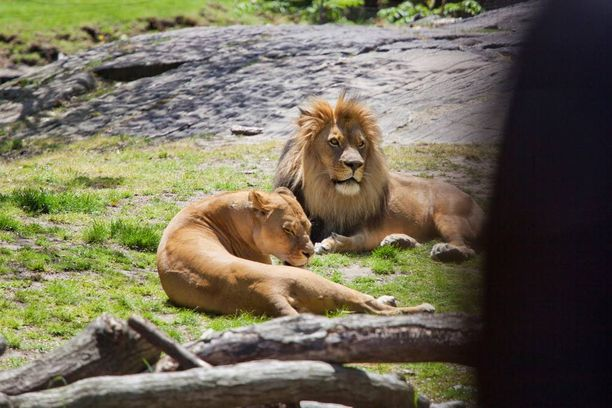Kaksi leijonaa ammuttiin hengiltä. Kuvituskuva, jonka leijonat eivät liity tapaukseen.