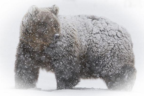 Luontokuvaus vaatii usein pitkää pinnaa ja paljon odottelua. Viime keväänä toteutui vuosien unelma karhusta kovassa lumituiskussa, Kari Kemppainen kertoo.