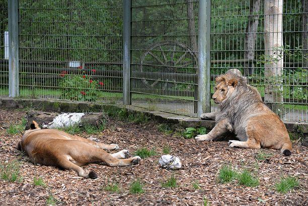 Lünebachissa sijaitsevasta Eifelin eläintarhasta karkasi perjantaina muun muassa kaksi leijonaa. Tiedossa ei ole, olivatko kuvan Malor (oik.) ja tämän emo Lira karkuteillä. Kuva vuodelta 2016.