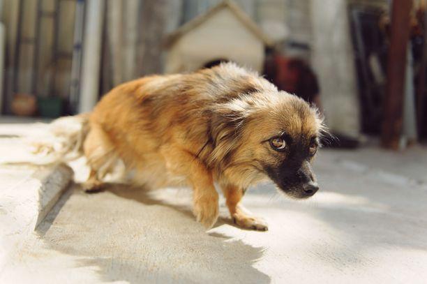 Koiran selkeämpiä pelon merkkejä ovat kyyristynyt asento ja jalkojen väliin painunut häntä. Lievää pelokkuutta voi olla vaikea huomata.