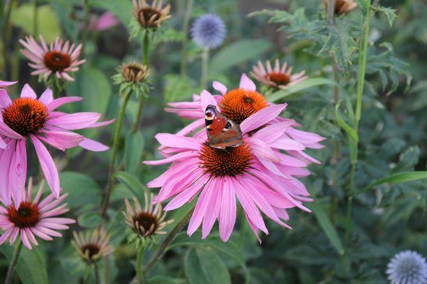 Kaunopunahattu houkuttaa perhosia pihalle. Kuvassa neitoperhonen.