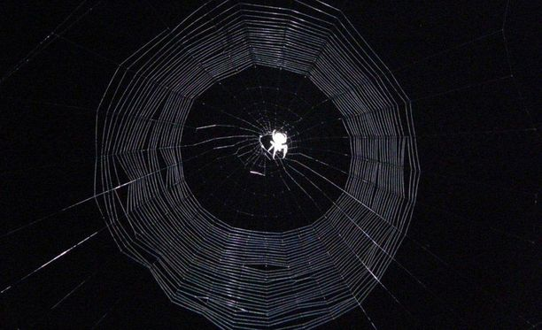Hämähäkki verkontekopuuhissa varhain aamulla.