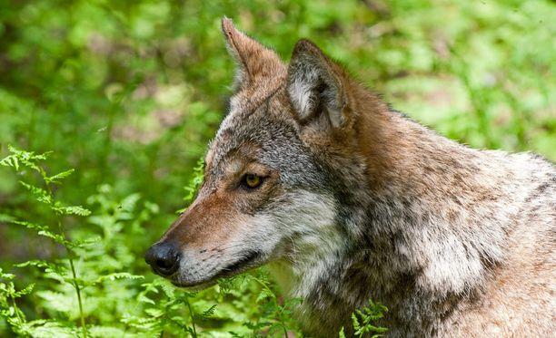 Joka viides pelkää susia.