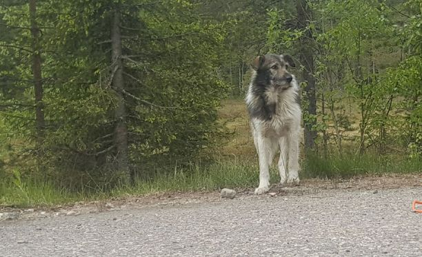 Herra Koiraa yritettiin saada kiinni Kittilässä, mutta silloin siinä ei onnistuttu. Kulkuri jäi vihdoin kiinni Kolarissa sunnuntaina.