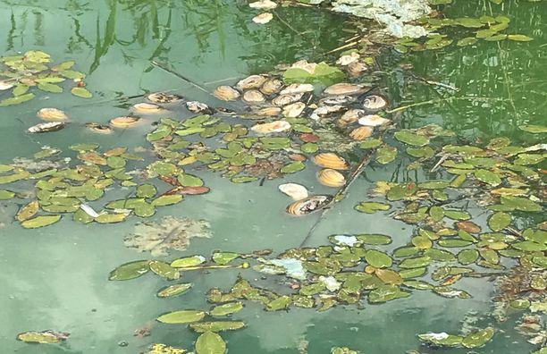 Enäjärven vedessä on tällä hetkellä runsaasti sinilevää, mikä voi myös osaltaan selittää simpukoiden joukkokuolemaa.