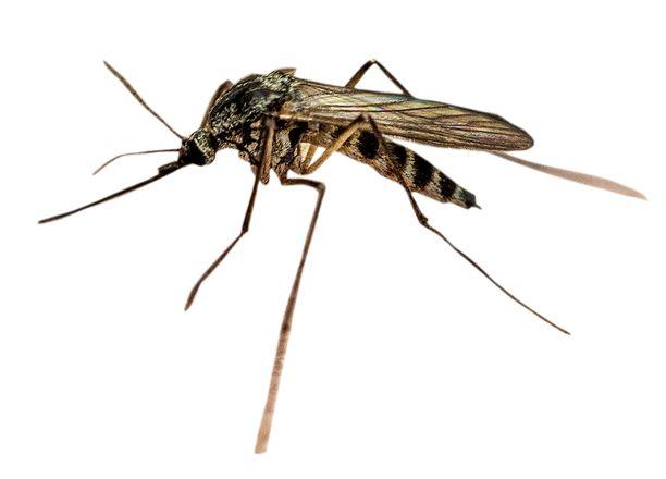 Suomessa on noin 40 hyttyslajia. Niistä 3–5 on ihmisten kimpussa. Niistäkin vain naaraat imevät verta.