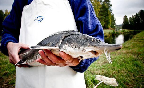 Sampi on uhanalainen kala Itämerellä. Kuvituskuva.