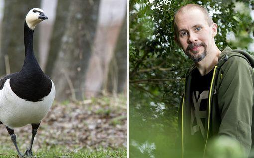 Valkoposkihanhet saavat ihmiset raivon valtaan – asiantuntija kertoo nyt, miten voimme elää sovussa hanhien kanssa