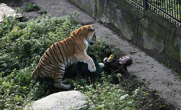 16-vuotias tiikeri hyökkäsi ruokaa tuovan hoitajan kimppuun.