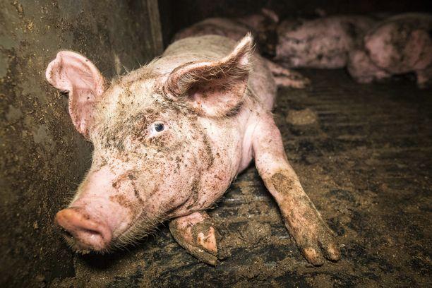 Satakuntalaisessa jättisikalassa lattian peitti märkä liete, kuten tässä sikalassa Ranskassa.