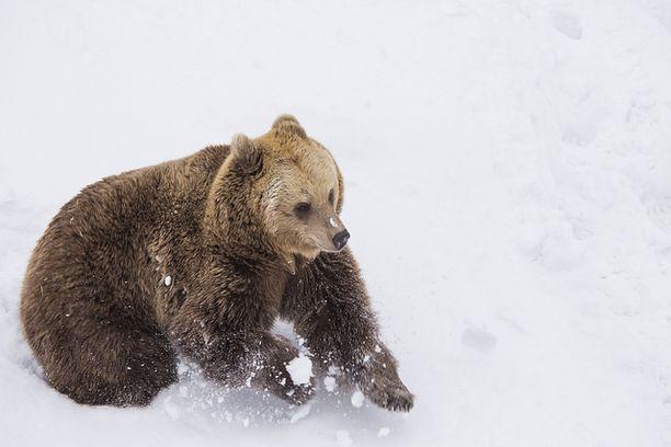 Karhuilla talviunet jäivät tänä vuonna poikkeuksellisen lyhyiksi, mutta ainakin ne pääsivät nauttimaan lumesta.