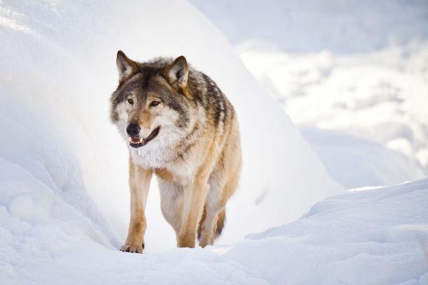 Sudet ovat käyneet koirien kimppuun Kaavilla. Kuvan susi ei liity tapaukseen.