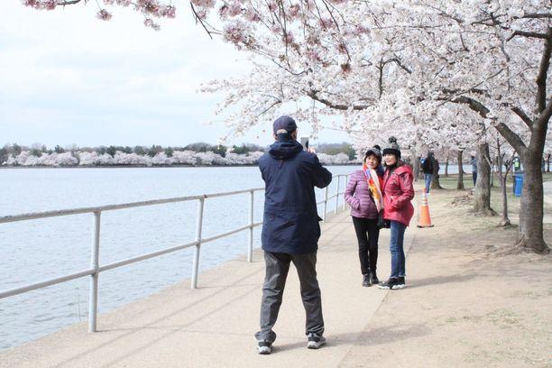 Kirsikankukat tuovat Washingtoniin 1,5 miljoonaa turistia maalis-huhtikuun vaihteessa.