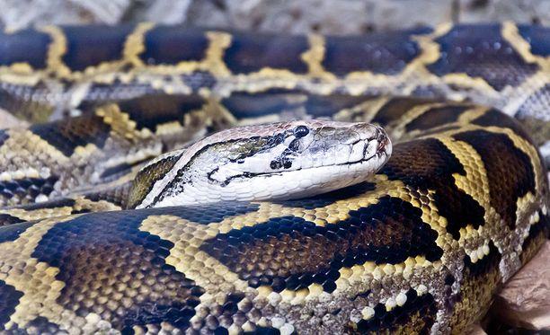 Verkkopytonia pidetään maailman suurimpana käärmeenä. Maailman pisin luotettavasti mitattu verkkopyton löytyi myös Sulawesin saarelta, sen pituus oli noin 10 metriä.