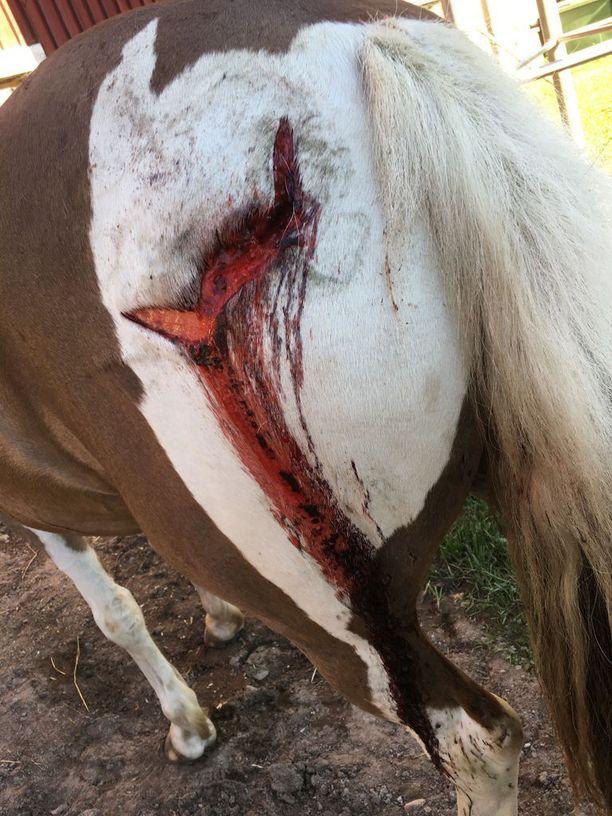 Karhu oli hyökännyt ponin kimppuun takaapäin, missä oli myös syvimmät haavat.