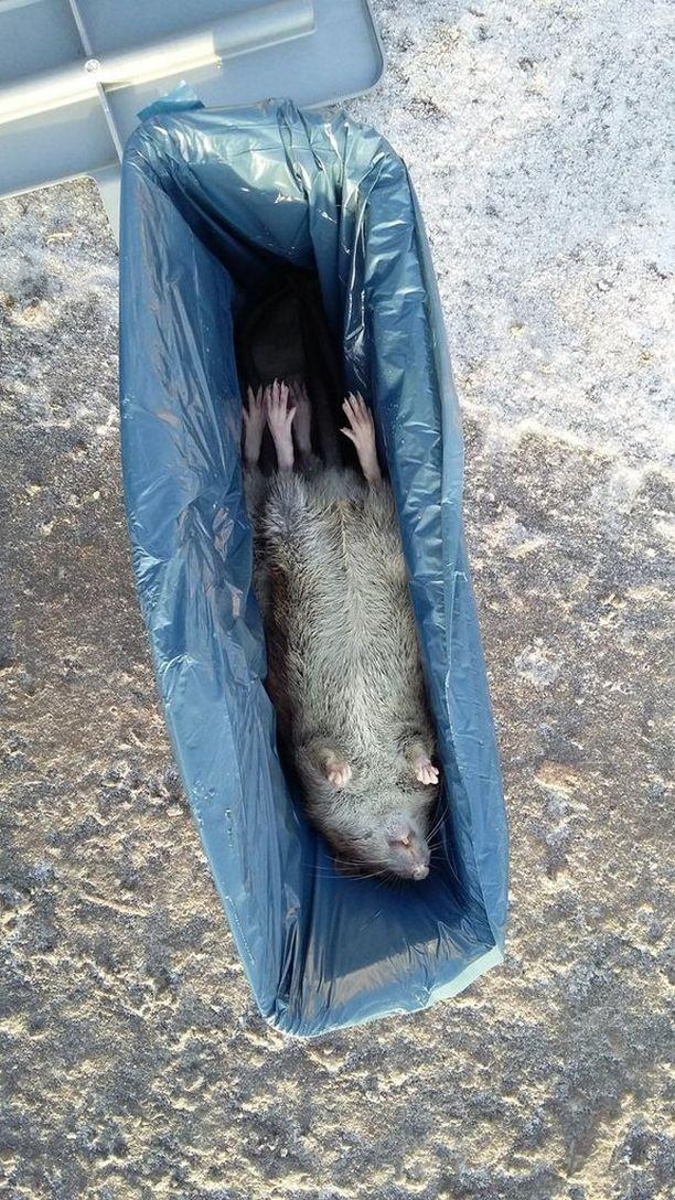 Sähköllä surmattu rotta siirtyy säilöön pussissa.