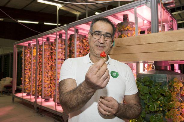Jos Alin harjoittama vertikaaliviljelytapa yleistyy, voi Suomessa saada tuoreita mansikoita ympäri vuoden.